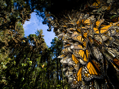 Monarch Butterflies Cover Every Inch of a Tree in Sierra Chincua Photographic Print by Joel Sartore