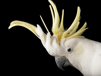 A Sulphur-Crested Cockatoo, Cacatua Galerita Photographic Print by Joel Sartore