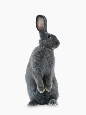 A Rare Silver Fox Heirloom Rabbit Fotoprint av Jim Richardson