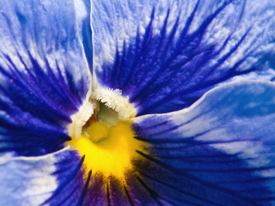 Close Up of a Blue and Yellow Pansy Flower, Viola Tricolor, in Spring Photographic Print by Darlyne A. Murawski