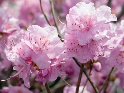 Weeping Cherry Blossoms, Prunus Subhirtella Var. Pendula, cherry blossom photos by Darlyne A Murawski