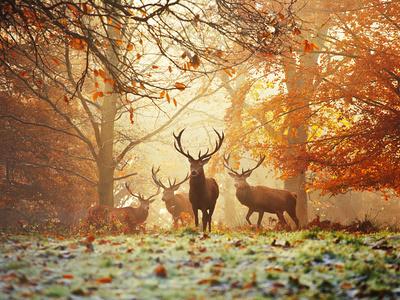 Fire røde kronhjorte, Cervus Elaphus, i skoven om efteråret Fotografisk tryk