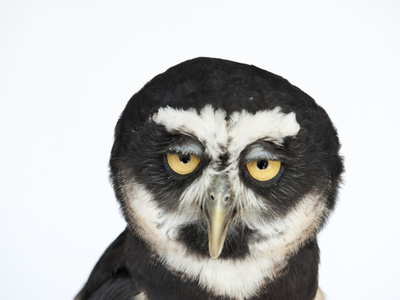 A Spectacled Owl, Pulsatrix Perspicillata, at the New York State Zoo Photographic Print by Joel Sartore