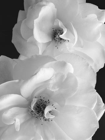 Iceberg Roses II Posters by Sondra Wampler