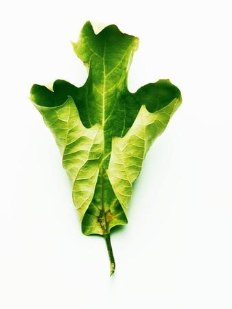 A Green Oak Leaf Photographic Print by Hermann Mock