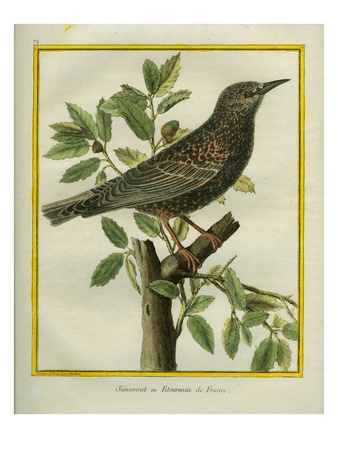 French Starling Giclee Print by Georges-Louis Buffon
