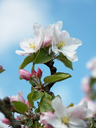 Apple Blossom on the Tree Photographic Print by Chris Schäfer