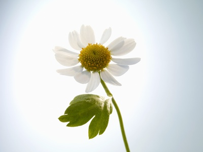 A Chamomile Flower Photographic Print by Jo Van Den Berg