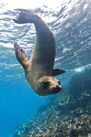 Galapagos Sea Lion (Zalophus Wollebaeki) Underwater, Champion Island, Galapagos Islands, Ecuador Fotografie-Druck von Michael Nolan