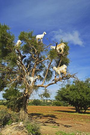 Goats on Tree, Morocco, North Africa, Africa Fotoprint av Jochen Schlenker
