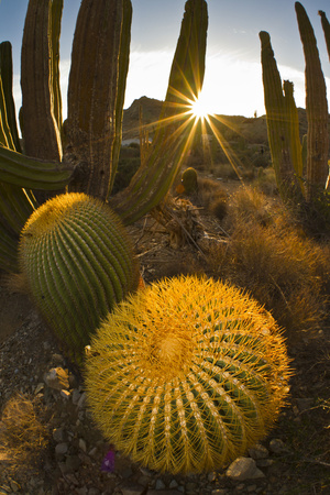 Endemic Giant Barrel Cactus, Isla Santa Catalina, Gulf of California (Sea of Cortez), Mexico Photographic Print by Michael Nolan