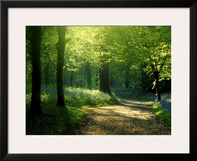 Track Leading Through Lanhydrock Beech Woodland with Bluebells in Spring, Cornwall, UK Prints by Ross Hoddinott