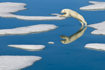 A Polar Bear Jumps from One Piece of Pack Ice to the Next Photographic Print by Ralph Lee Hopkins