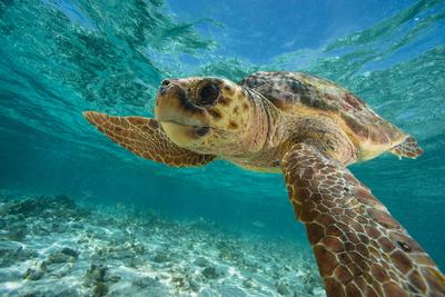 A Loggerhead Turtle Swims in Hol Chan Marine Reserve 写真プリント : ブライアン J. スケリー