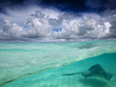 A Stingray Swimming Through the Caribbean Sea at the Cayman Islands. Photographic Print by Ian Shive