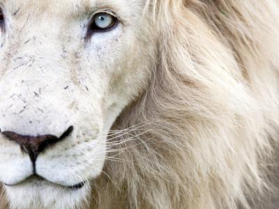 Full Frame Close Up Portrait of a Male White Lion with Blue Eyes.  South Africa. Fotografisk tryk af Karine Aigner