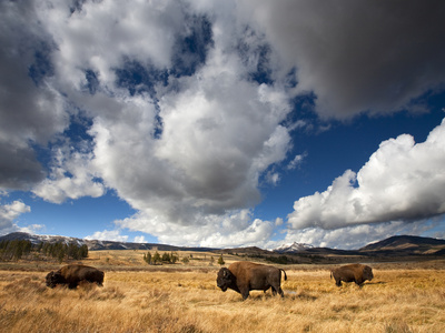 American Bison grazing in open grass field in Yellowstone National Park in Wyoming