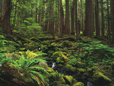 Rainforest, Mossy Rocks, Mt Rainier National Park, Washington, USA Photographic Print by Stuart Westmorland