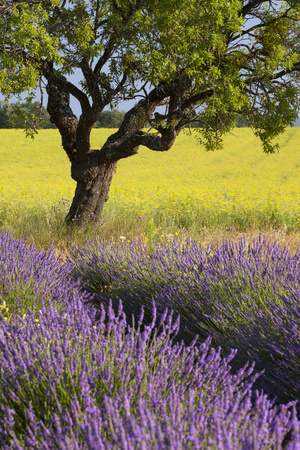 Lone Tree, Lavender and Mustard Fields Near Valensole, Provence, France Photographic Print by Brian Jannsen