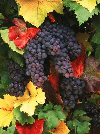 View of Pinot Noir Grape, Willamette Valley, Oregon, USA Photographic Print by Stuart Westmorland