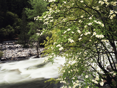 Pacific Dogwood Tree, Merced River, Yosemite National Park, California, USA Photographic Print by Adam Jones