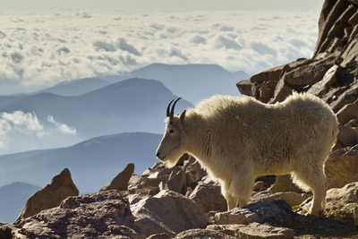 Mountain Goats, Mount Evans, Colorado, USA Fotoprint