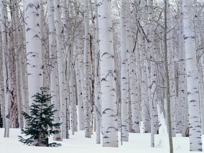 Aspen and Douglas Fir, Manti-Lasal National Forest, La Sal Mountains, Utah, USA Photographic Print by Scott T. Smith