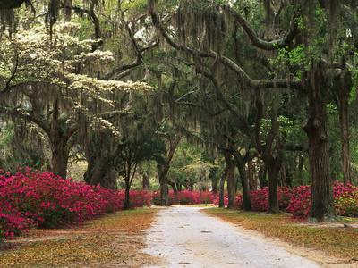 Road Lined with Azaleas and Live Oaks, Spanish Moss, Savannah, Georgia, USA Photographic Print by Adam Jones