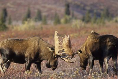 Bull Moose Wildlife, Denali National Park, Alaska, USA Photographic Print by Gerry Reynolds