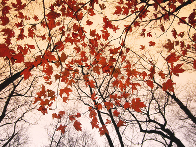 Red Maple and Autumn Sky Art by Raymond Gehman