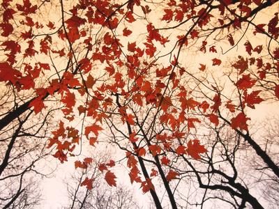 Red Maple and Autumn Sky ポスター : レイモンド・ゲーマン