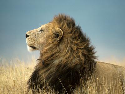 Simba His Majesty Plakat