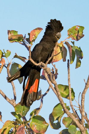 Red-Winged Black Cockatoo Photographic Print by Howard Ruby