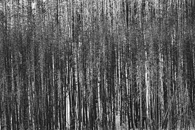 Burnt Out Pines Photographic Print by Howard Ruby