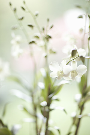 White Orchid I Photographic Print by Karyn Millet