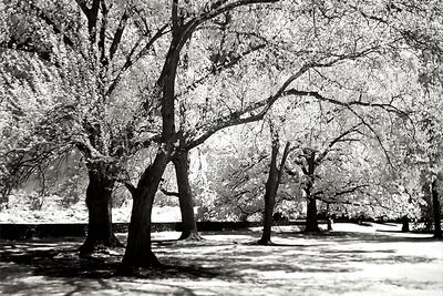 Fantasy Oaks BW Photographic Print by Alan Hausenflock