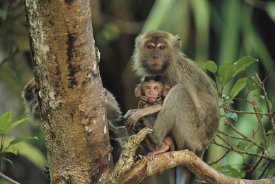 Mother and Baby Monkey Sit On a Tree Limb. Another Peers From Behind. Photographic Print by Tim Laman