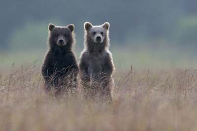 Two Brown Bear Spring Cubs Standing Side-by-side in Curiosity Fotografisk tryk