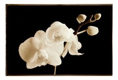 Phalaenopsis, Little Sierra 高品質プリント : ソンドラ・ワンプラー
