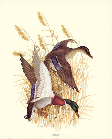 Mallards Posters by Charles Murphy