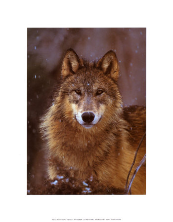 Woodland Pride, Montana Poster di Art Wolfe