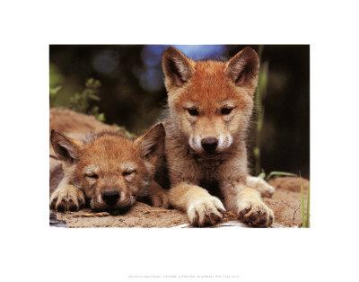 Cuccioli di lupo di primavera Stampe di Art Wolfe