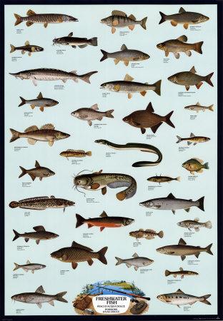 fish. Fish Freshwater Posters at