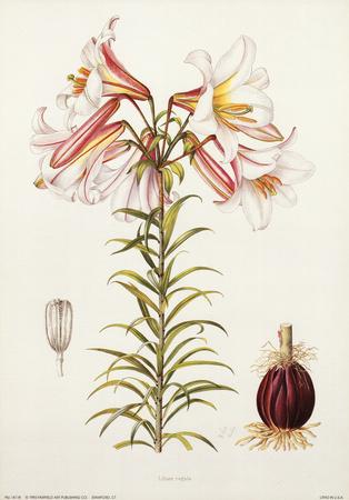 Lilium Regale Prints by Lilian Snelling