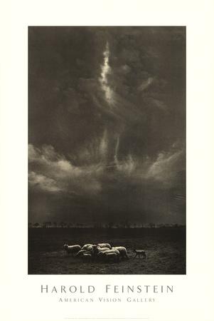 Pecora sotto la nuvola Stampe di Harold Feinstein