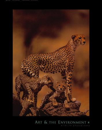 African Cheetah Poster di Gerry Ellis