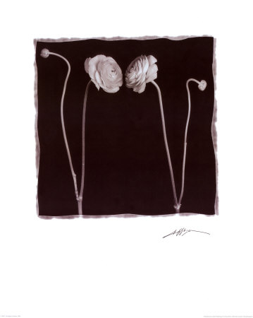 Two Flowers and Two Buds Posters by Angelos Zimaras