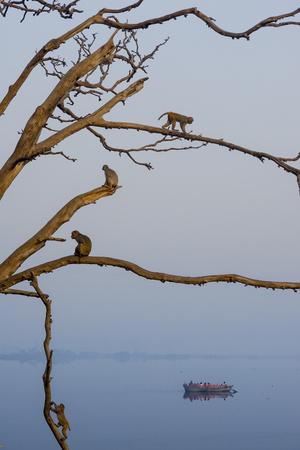 Rhesus Monkeys, Macaca Mulatta, in a Tree on a Bank of the Yamuna River Photographic Print by Jonathan Kingston