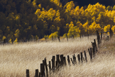 Tall Grasses in a Fenced Field with Golden Aspen Trees in the Distance Photographic Print by Robbie George