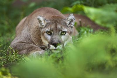 Portrait of a Male Cougar, Felis Concolor, Stalking Photographic Print by Karine Aigner